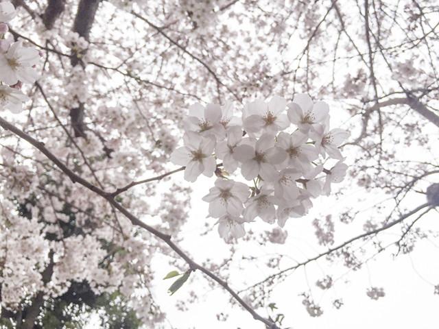 藤沢ショールーム近辺の桜は、満開です
